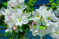 Bloemen van appelboom royalty-vrije stock foto's