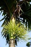 Bloemen van areca nootboom Stock Foto's