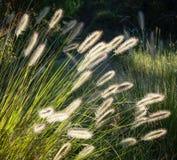 Bloemen van Australisch Gras Pennisetum die alopecuroides binnen gloeien stock fotografie