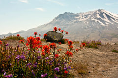 Bloemen van berg St. Helens Stock Afbeeldingen