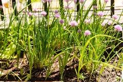 Bloemen van bieslook Stock Fotografie