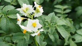 Bloemen van bloeiende aardappel stock footage