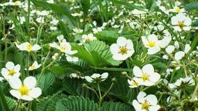 Bloemen van bloeiende aardbei bij de tuin stock footage