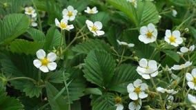 Bloemen van bloeiende aardbei bij de tuin stock video