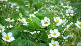 Bloemen van bloeiende aardbei bij de tuin dicht omhoog stock video