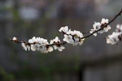 Bloemen van bloeiende abrikoos Royalty-vrije Stock Fotografie