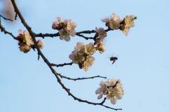 Bloemen van bloeiende abrikoos Royalty-vrije Stock Foto