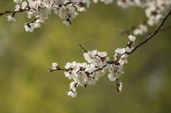 Bloemen van bloeiende abrikoos Stock Foto