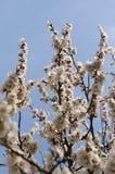 Bloemen van bloeiende abrikoos Royalty-vrije Stock Afbeeldingen