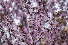 Bloemen van bloeiende boom Royalty-vrije Stock Afbeelding