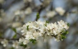 Bloemen van bloeiende kers Stock Fotografie