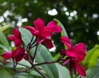 Bloemen van Bordeaux Frangipani (Plumeria) stock foto