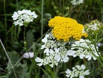 Bloemen van Bulgarije royalty-vrije stock foto's