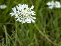 Bloemen van Bulgarije stock fotografie
