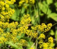 Bloemen van Bulgarije stock afbeelding
