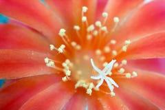 Bloemen van cactus. Royalty-vrije Stock Fotografie