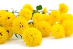 Bloemen van chrysant royalty-vrije stock foto
