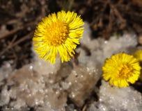 Bloemen van coltsfooct in de sneeuw Stock Afbeelding