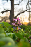 Bloemen van Corydalis-hol-wortel op de vage achtergrond van reusachtige oude eiken boom Moskou, Kolomenskoye-Museumlandgoed Stock Fotografie