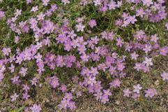 Bloemen van cretica van de Mantelfagonia van Virgin stock afbeelding