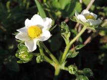 Bloemen van de aardbei met dauw - close-upmening stock afbeeldingen