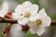 Bloemen van de abrikoos Stock Afbeelding