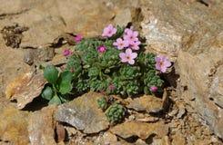 Bloemen van de Alpen Royalty-vrije Stock Afbeeldingen