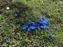 Bloemen van de Alpen Stock Afbeelding