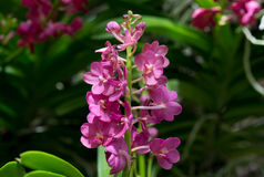 Bloemen van de Beautuful de purpere orchidee met knoppen Stock Fotografie
