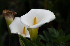 Bloemen van de Bergen van de Andes royalty-vrije stock afbeeldingen