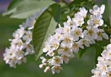Bloemen van de Boom van de Kers van de Vogel Royalty-vrije Stock Afbeeldingen
