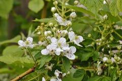 Bloemen van de braambes, Rubus-fruticosus, Beieren, Duitsland, Europa stock afbeeldingen