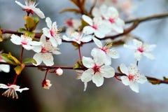 Bloemen van de close-up van de kersenpruim op hemelachtergrond Stock Afbeelding