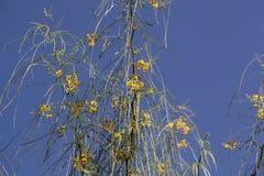 Bloemen van de Doorn van Jeruzalem Stock Afbeelding