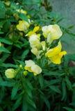 Bloemen van de de farynxmacro van de gele leeuw op aardachtergrond royalty-vrije stock foto's