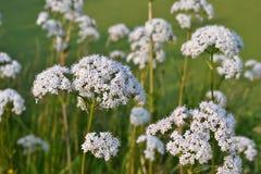 Bloemen van de Grote burnet-Steenbreek. Stock Fotografie