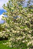 Bloemen van de kersenbloesems op een de lentedag Royalty-vrije Stock Foto's