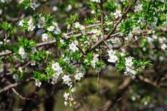 Bloemen van de kersenbloesems op een de lentedag Royalty-vrije Stock Afbeelding