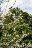 Bloemen van de kersenbloesems op een de lentedag Stock Foto