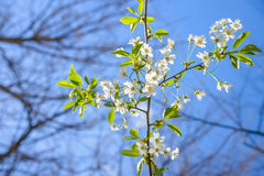 Bloemen van de kersenbloesems op een de lentedag stock fotografie
