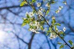 Bloemen van de kersenbloesems op een de lentedag royalty-vrije stock foto
