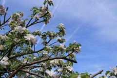 Bloemen van de kersenbloesems op een de lentedag royalty-vrije stock fotografie