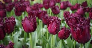 Bloemen van de lente - een gebied van donkere purpere tulpen Tulipa royalty-vrije stock afbeeldingen