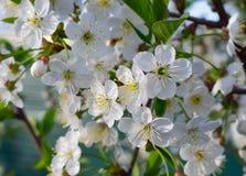 Bloemen van de de lente de witte kers stock afbeelding