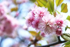 Bloemen van de lentesakura stock afbeelding