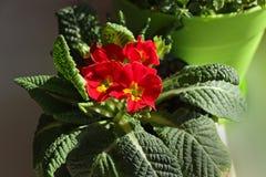 Bloemen van de primula de mooie lente op een vensterbank thuis royalty-vrije stock afbeeldingen