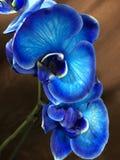 Bloemen van de slepen de blauwe orchidee Royalty-vrije Stock Afbeelding