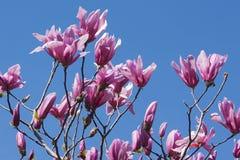 Bloemen van de spectrum de hybride magnolia royalty-vrije stock afbeelding