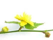 Bloemen van de struik Kerria Stock Foto