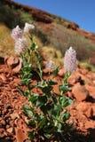 Bloemen van de woestijn Stock Fotografie
